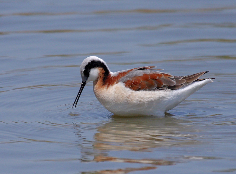 Wilson's Phalarope in breeding plumage, Irvine's San Joaquin Wildlife Sanctuary, April 22 2008.