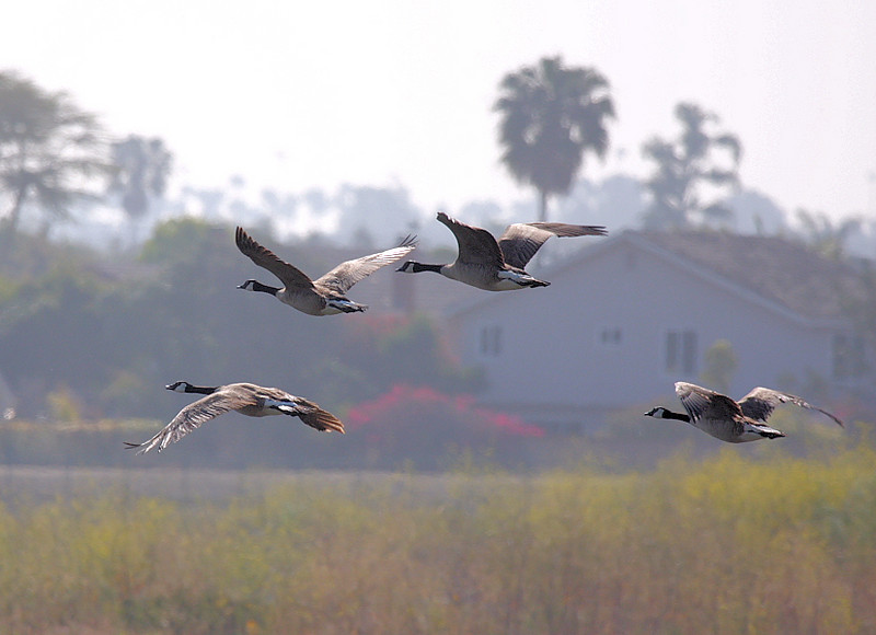 Canadian Geese flyby, Bolsa Chica, Huntington Beach, CA, April 22 2008.