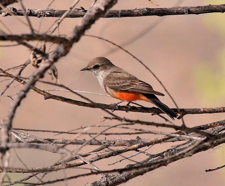 And here's the female Vermillion Flycatcher to the male in the previous photo...