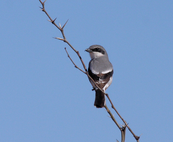 Loggerhead Shrike, San Pedro River, nr Sierra Vista, Arizona, April 10 2008.