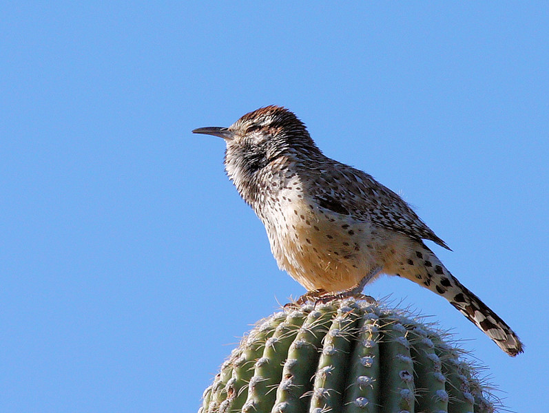 Ahhh...Morning Sun! Cactus Wren soaking in the rays at the Arizona-Sonora Desert Museum outside of Tucson, Arizona, April 2008.