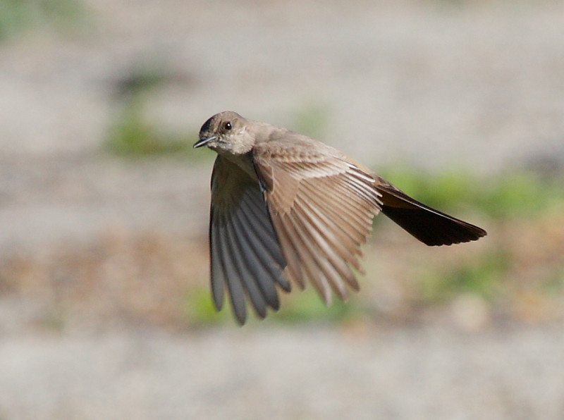 A 3-shot sequence of a Say's Phoebe hovering in place in a stiff headwind, White Point Nature Preserve, San Pedro, CA, January 26 2009.