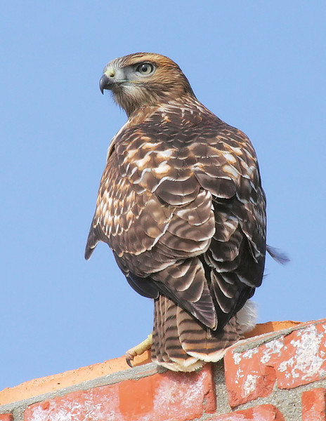 Young Red-tail on a chimney, San Pedro, CA, July 3 2009.