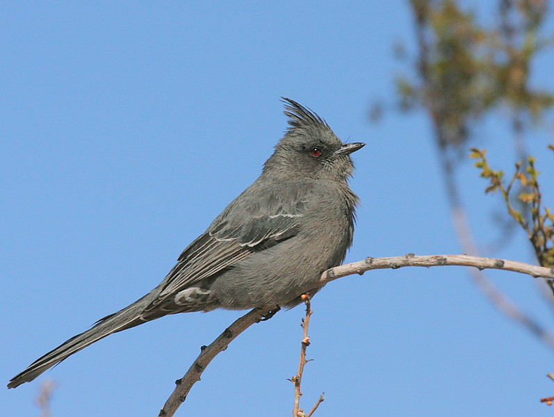 Phainopepla along the main road through Joshua Tree National Park, CA.