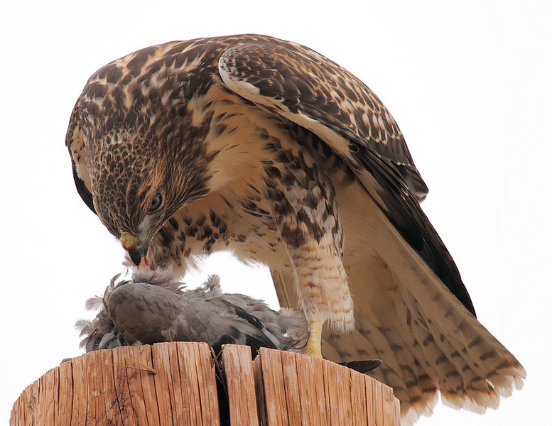 The pigeon had been dropped off my his mother, and this could have been his first attempt at plucking the feathers by himself, as he didn't do too good of a job. Raptor Etiquette will come soon enough...<br /> <br /> Steve