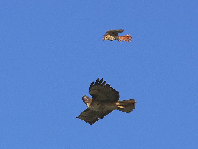 "One of the fun things to watch is the ""escorting"" of a Red-tail Hawk out of a Kestrel's territory. Here's a 2-shot sequence where the Kestrel catches the Red-tail's attention. White Point Nature Preserve, San Pedro, Jan 26 2009."