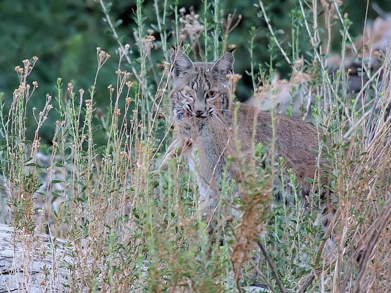 The elusive resident Bobcat with what looks to be a rabbit, along the Marsh Trail near the education center, Big Morongo Canyon Preserve, August 23 2008.
