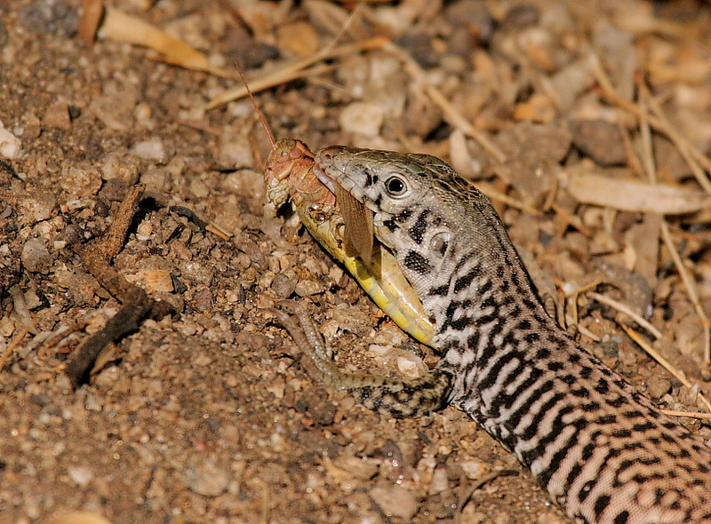 A Common Whiptail Lizard with a grasshopper at Big Morongo Canyon Preserve, near Joshua Tree Nat'l Park, CA, August 22 2008.