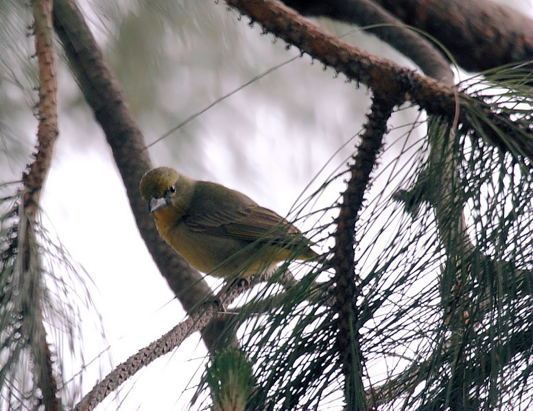 Along with the Summer Tanager at Gonzales Park is this female Hepatic Tanager, March 24 2012.