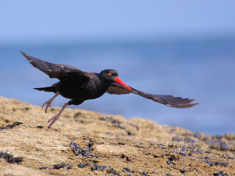 This and the following photo are of a Black Oystercatcher taking off, Cabrillo Beach, San Pedro, CA, May 5 2008.