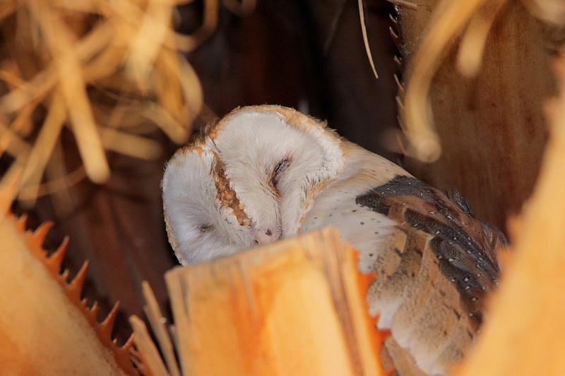 A Barn Owl in a palm tree snoozing away the morning at Covingtion Park, across from Big Morongo Canyon Preserve near Joshua Tree Nat'l Park, CA, August 22 2008.