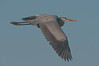 Birds On Wing: Great Blue Heron #2