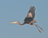 Birds On Wing: Great Blue Heron #5