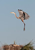 Birds On Wing: Great Blue Heron #6