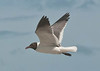Birds On Wing: Laughing Gull # 1