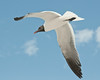 Birds On Wing: Laughing Gull # 2