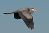 Birds On Wing: Great Blue Heron #1