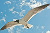 Birds On Wing: Laughing Gull #3