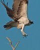 Birds On Wing: Osprey #1