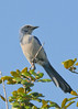 Birds Perched: Florida Scrub Jay #1