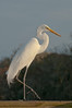 Birds Perched: Great Egret #5