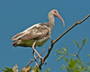Birds Perched: White Ibis #1