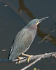 Birds Perched: Little Blue Heron #