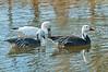 White & Blue Morph Snow Geese in Jacksonville Sheffield Park Pond #9 11/2014