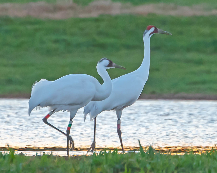 Whooping Cranes at the Cow Ponds in Tallahassee  #12 02/2015