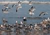 Great Black-backed Gull at Daytona Beach Shores #1 01/2013