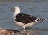 Great Black-backed Gull at Daytona Beach Shores #3 01/2013