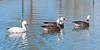 White & Blue Morph Snow Geese in Jacksonville Sheffield Park Pond #5 11/2014