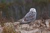 Snowy Owl on Dune at LIttle Talbot Island Park #9 12/2013