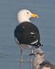 Great Black-backed Gull at Daytona Beach Shores #5 01/2013