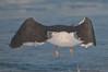Great Black-backed Gull at Daytona Beach Shores #14 01/2013
