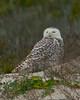 Snowy Owl on Dune at LIttle Talbot Island Park #16 01/2014