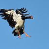 Magpie goose (Anseranas semipalmata)