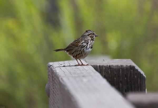 Fox sparrow(?)_SD (1 of 1)