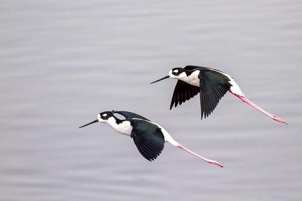 Black-necked stilt (1 of 1)