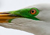 Birds Up Close: Great Egret #1