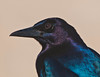 Birds Up Close Grackle #1