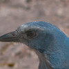Birds Up Close: Florida Scrub Jay, #1