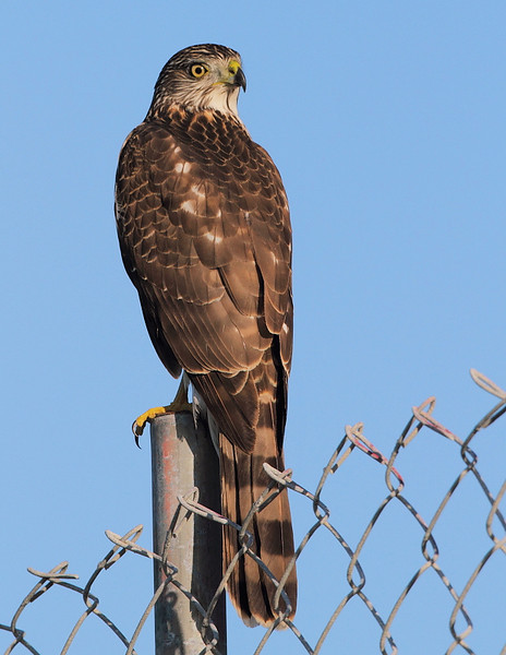 Another look at the very cooperative Cooper's Hawk, Ocean Trails, Palos Verdes, CA, November 11 2010.