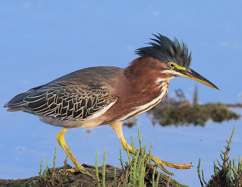 Another shot of the Bolsa Chica Green Heron.