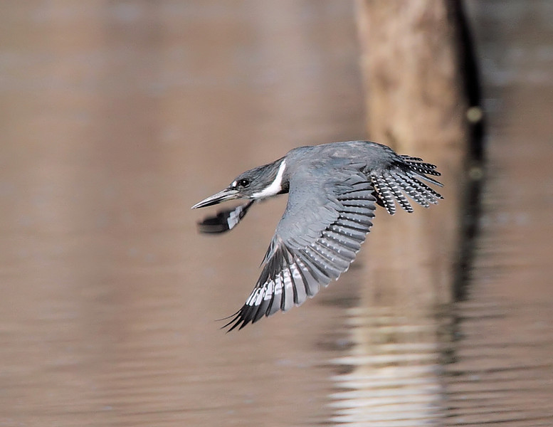 Seconds after the last shot...I've been trying to get a shot of a Kingfisher-in-flight like this for years.
