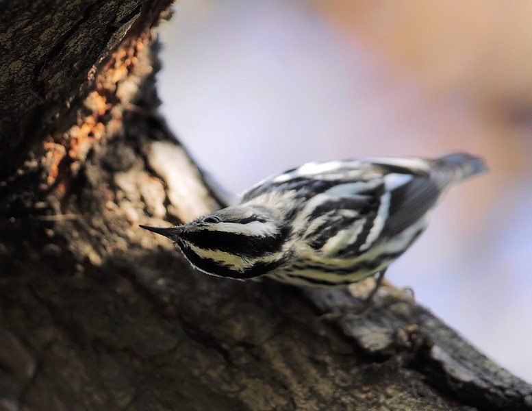 Another look at Madrona Marsh's Black-and-white Warbler, acting somewhat woodpecker-like, clinging to the sides of the tree in search of food.
