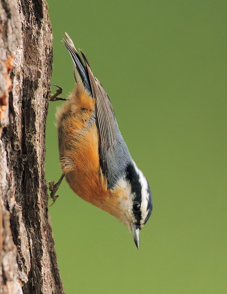 Another look at the Red-breasted Nuthatch, Highridge Park, Palos Verdes Peninsula, CA, October 24 2010.
