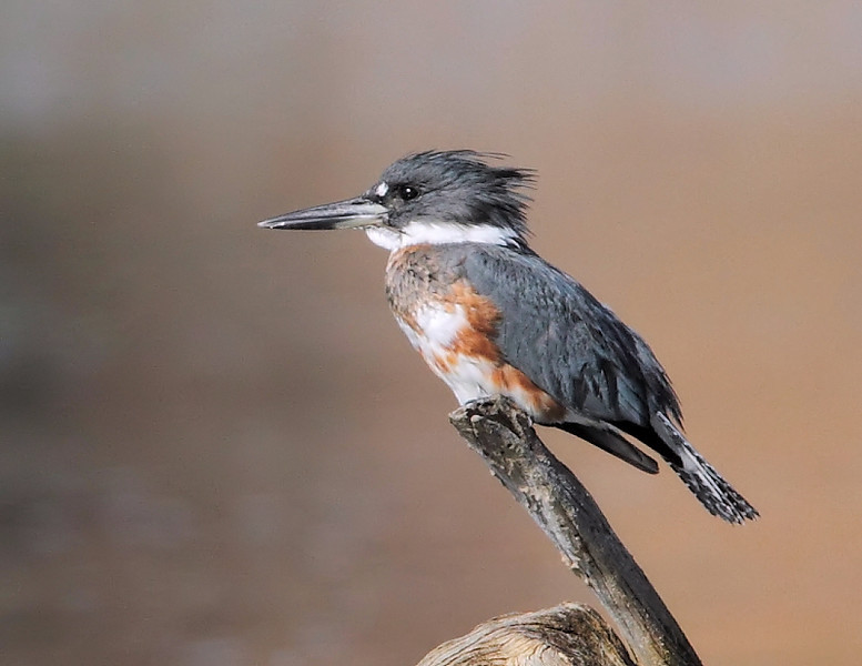 Another look at the female Kingfisher...
