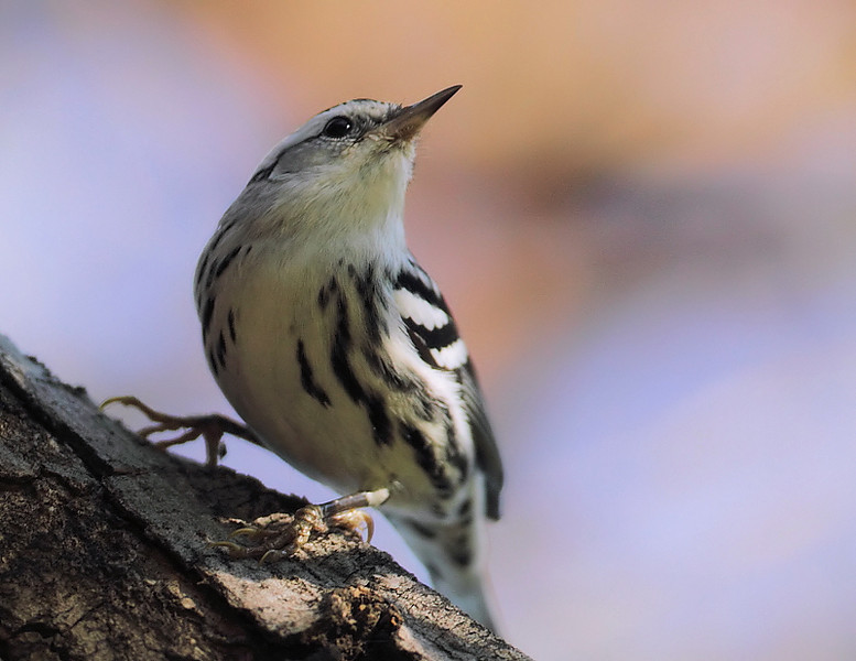 A head portrait shot of Madrona Marsh's Black-and-white Warbler, October 31 2010.