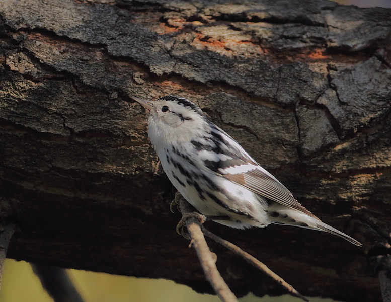 A rare-for-the-area Black-and-white Warbler, Madrona Marsh, Torrance, CA, October 31 2010.